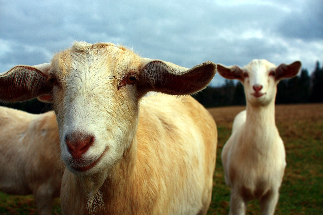 cabras felizes